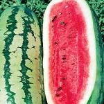 แตงโม จอร์เจียแรทเทิลสเน็ค - Georgia Rattlesnake Watermelon