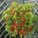 มะเขือเทศ ฮันเรดแอนเทาซัน - Hundred and Thousands Tomato