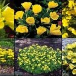 อีฟนิ่ง พริมโรส สีเหลือง 50 เมล็ด/ชุด
