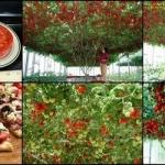 ต้นมะเขือเทศยักษ์อิตาเลี่ยน 3 เมล็ด/ชุด