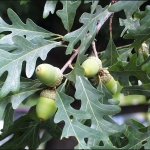 ไวท์โอ้ค - White oak tree