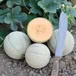 เมล่อน สกาย - Sky F1 Melon