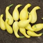 (Whole 1 oz) ฟักทองสครอชคอหงส์ สีเหลือง - Yellow Crookneck Squash