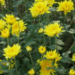 ดอกเบญจมาศสีเหลือง - Yellow Chrysanthemum Flower
