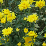 (Big Pack) เบญจมาศสีเหลือง - Yellow Chrysanthemum Flower