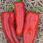 พริกหวาน มาโคนีสีแดง - Red Marconi Pepper