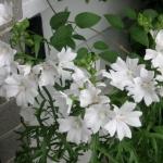 ชบาฝรั่ง ไวท์เกรด - White Glade Mallow