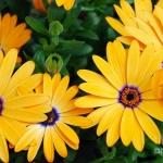 ดอกเดซี่แอฟริกา - African Daisy Flower