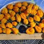 พริกสกอตช์บอนเนต - Orange Scotch Bonnet Pepper
