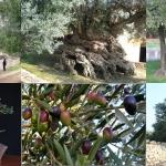 ต้นมะกอก ยูโรป้า 5 เมล็ด/ชุด
