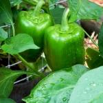 (Big Pack) พริกหวานเขียว - CA Green Sweet Pepper