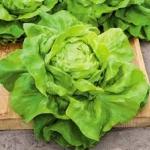 ผักสลัด บัตเตอร์คลั้น - Buttercrunch Lettuce