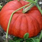ฟักทองซินเดอเรลร่า - Cinderella Pumpkin
