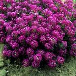 ดอกอลิซซั่ม สีชมพู 30เมล็ด/ชุด