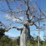 ต้นไม้ยักษ์(เบาบับ)พันธุ์มาดากัสการ์ - Adansonia madagascariensis Baobab