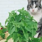 แคทนิป - Catnip Cat Herb
