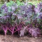 ผักคะน้าเคลสีแดง - Red Russian Kale
