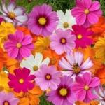 (Whole 1 Oz) ดาวกระจายคละสี - Mixed Cosmos Flower