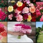 ดอกคาร์เนชั่น คละสี ซองละ 10 เมล็ด
