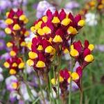 ดอกไลนาเรีย - Linaria Spanish Dancer Flower
