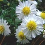 ดอกคัตเตอร์ สีขาว - White Cutter Flower