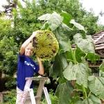 (Whole 1 Oz.) ทานตะวันยักษ์ ซันซิล่า - Sunzilla Giant Sunflower