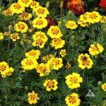 (Whole 1 Oz) ดาวเรือง มารีเอตต้า - Marietta Marigold Flower