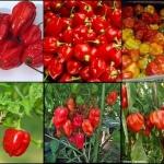 พริก ฮาบาเนโร่ สีแดง 5 เมล็ด/ชุด