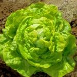 สลัดไวท์บอสตัน - White Boston Lettuce
