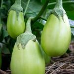 มะเขือเขียว อ็อปลอง - Green Oblong Eggplant