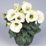 ดอกไลซิแอนธัส สีขาว 5 เมล็ด/ชุด