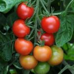 มะเขือเทศการ์เดนเนอร์ดีไลท์ - Gardeners Delight Tomato