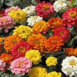 ดอกบานชื่น คละสี 15 เมล็ด/ชุด