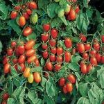 มะเขือเทศจูเลียส - Juliet Tomato F1
