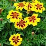 ดอกดาวเรืองมารีเอตต้า - Marietta Marigold Flower