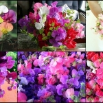 """ดอกสวีทพี """"แมมมอธ"""" คละสี 5 เมล็ด/ชุด"""