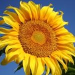 ทานตะวันแมมมอธ เกรย์สตริป - Mammoth Gray Stripe Sunflower