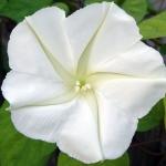 ดอกชมจันทร์ - Moon Flower