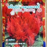 ดอกสร้อยไก่สีแดง เรดเรนเจอร์