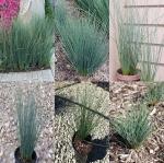 หญ้าจังคัส บลูแอร์โรว 5เมล็ด/ชุด