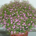 ดอกยิมโซ สีชมพู - Pink Gypsophila