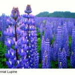 รัสเซล ลูปิน - น้ำเงิน - Blue Russell Lupin Flower
