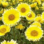 ดอกไทดี้ ทิป - Tidy-Tips Wildflower
