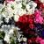 ดอกพิทูเนีย(Petunia)