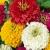 ดอกบานชื่น (Zinnia)