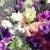 ดอกไลซิแอนธัส (Lisianthus)