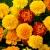 ดอกดาวเรือง (Marigold)