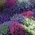 ดอกโลบีเลีย(Lobelia)