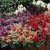 ดอกซัลเวีย(Salvia)