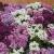 ดอกอลิซซั่ม(Alyssum)